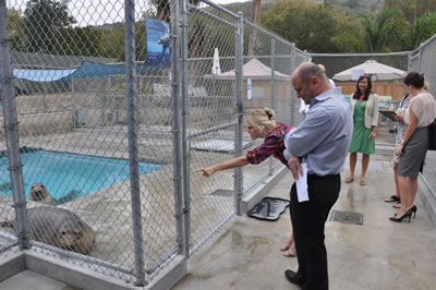 Sea Lions in the outdoor pool at the Pacific marine Mammal Center.