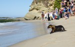 A rescued and revived seal was released at Treasure Island Beach on Sunday.