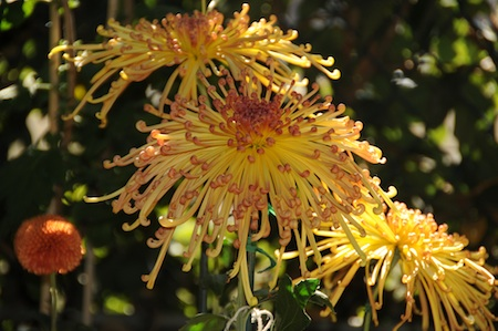 The O.C. Chrysanthemum Society will hold its annual show and sale at Newport Beach's Sherman Library, 2617 Pacific Coast Highway, Saturday, Oct. 20,1-4 p.m., and Sunday, Sun. Oct. 21, 10 a.m. – 4 p.m. Free parking. $3 admission.