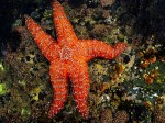 Photo by Glenn Murray  An unusually large sea star in a rarely exposed tidepool.