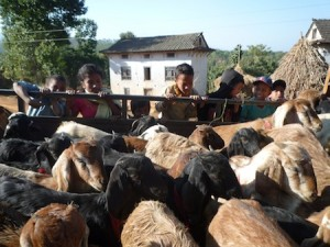 Another goat delivery en route to a Nepalese village thanks to funding by R Star Foundation.