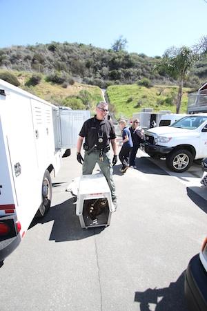 Dana Friedman, coastal animal services officer from San Clemente, brings in the 118th sickly sea lion pup Wednesday afternoon.