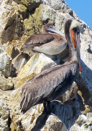 Brown pelicans on Catalina Island. Photo by Roger Kempler