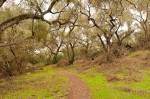 Quiet Trails Make Happy Hikers:  A lattice-lace canopy of coast live oaks in lower Mathis Canyon, Aliso and Wood Canyons Wilderness Park