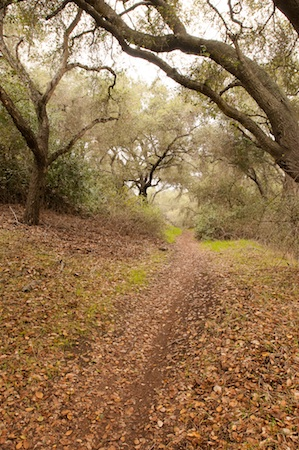 Fallen Leaves:  A crunchy path of prickly edged oak leaves.