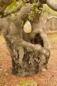 Photo Op:  Put your face in the hole and become the mighty Atlas of oak trees.