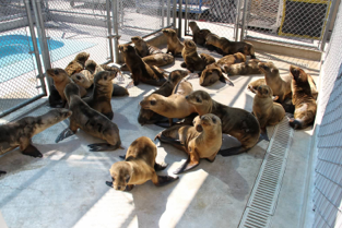 Sea lion pups in recovery at the Pacific Marine Mammal Center.