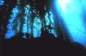 Kelp forest off Channel Islands, National Oceanic and Atmospheric Administration