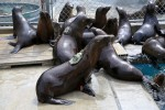 Sea Lion Strandings on the Rise