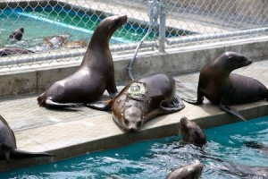 The center's rescued sea lions will be monitored with a satellite tag after their release, which scientists hope will solve the mystery of starving pups.