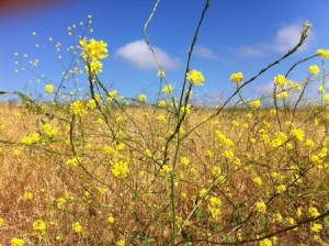 Black mustard in Aliso and Woods Canyon Wilderness Park. Photo by Ellen Kempler