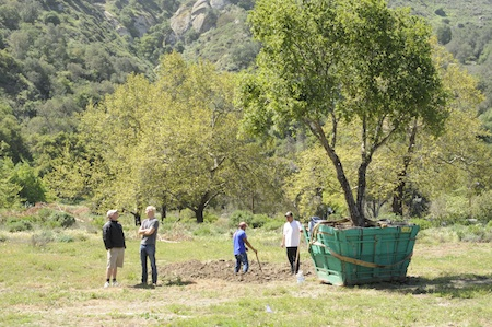 A native oak destined for Big Bend's native plant makeover.
