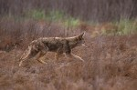 Eye on Nature:  Coyote Caution