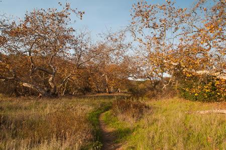 Dilly Preserve sycamore grove