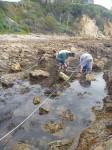 Foreign Seaweed Invading Tidepools