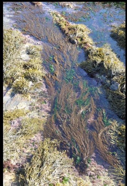 Sargassum proliferates in Laguna's rocky tidepools.