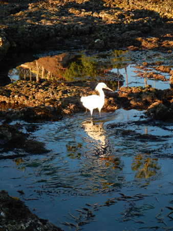 Snowy egret wading in a pool covered by a seaweed canopy.