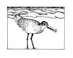 Shore Scene: Watching the Western Willet
