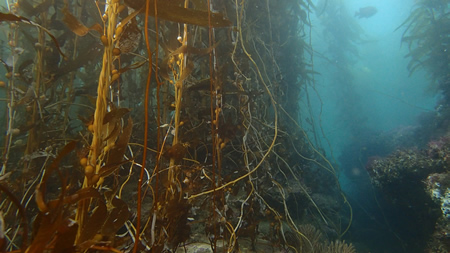 Underwater kelp forests off Laguna's coastline.