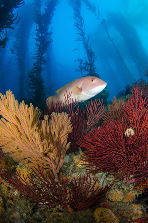 "Captions: In the underwater category, first place winner Michelle Hoalton captured Deadman's Reef in Crescent Bay on Jan. 18 in ""The Many Colors of the Kelp Forest."""