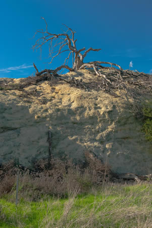 Sprawling and old, a dead oak still manifests nature's beauty