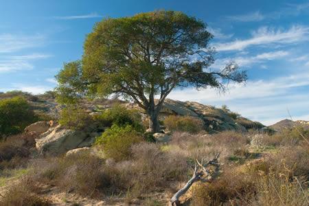 Oak along the trail to Laurel Canyon.