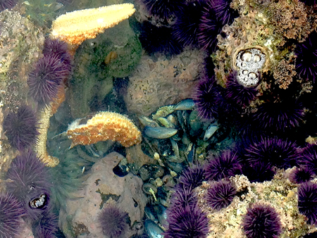 A dead sea star's disembodied leg floats to the surface of a tide pool at Treasure Island in South Laguna.