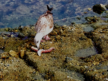 A seagull at Treasure Island dining on the remnants of a sea star killed by wasting disease now spreading along the West Coast.