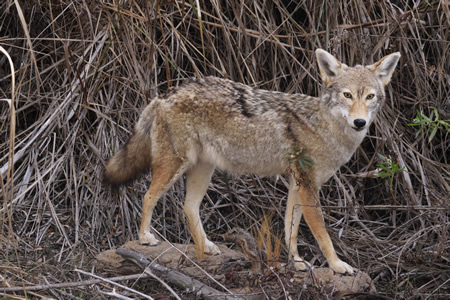 Sightings of native species, like this coyote, or at least their prints or scat are embedded along the trail to sharpen visitors' understanding of the canyon habitat.   Photo by Jody Tiongco