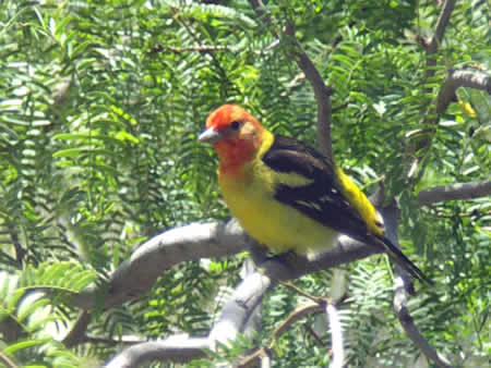 :  The Western Tanager, shown here, has breeding grounds in Orange County.
