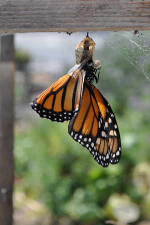 Diverted beach goers watch a butterfly emerge from a chrysalis in the South Laguna Community Garden