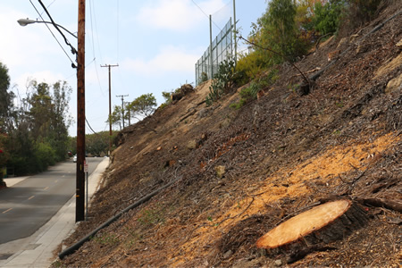 Eucalyptus rees cleared from slope in preparation for re-landscaping at LBHS. Photo by Charlie Craig.