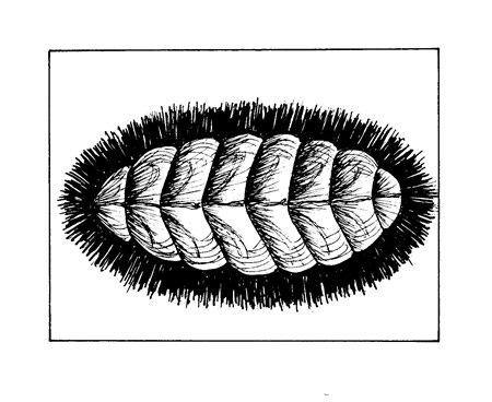 Mossy chitons