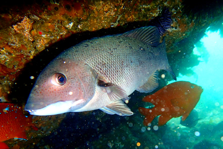 Female sheepshead in a rocky grotto near Fisherman's Cove in north Laguna, spotted in May.