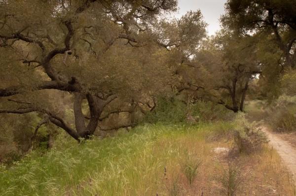 Emerald Canyon oaks