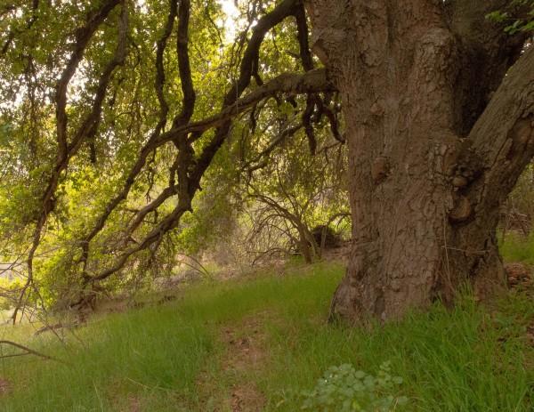 Oak in Emerald Canyon