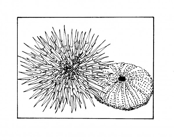 Prickly, Purple Pincushion