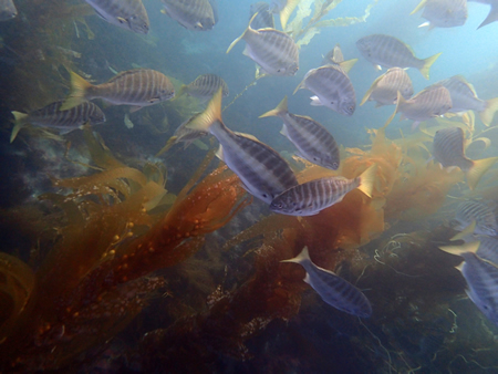 Zebra perch adults up to 17 inches in kelp. More common in Baja, there's more than I've ever seen. Adult schools ply the kelp and small juveniles keep to the  tidepools and the shallows.