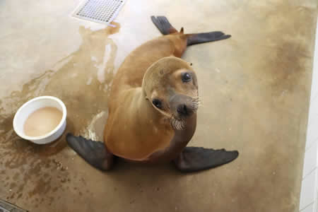 Sea lion rescues are again on the rise as is the patient load at the Marine Mammal Center in Laguna Canyon.