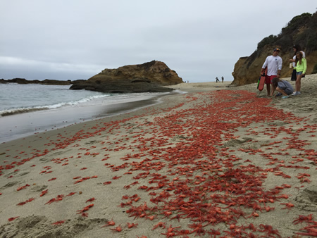 New type of red tide: Laguna Beach lifeguard Nicholas Lerario talks to visitors about influx of tuna crabs at Goff Beach near Treasure Island last Sunday. Photo by Tom Cantrell.