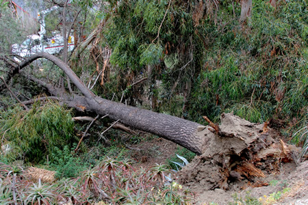 One of three trees that toppled onto power lines on Arroyo Drive, sparking a fire.