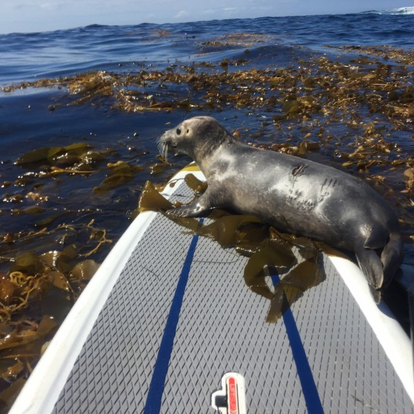 A young harbor seal apparently escaped a shark attack by jumping  on a stand-up paddleboard off of Seal Rock in North Laguna. Photo by Doug Oyen
