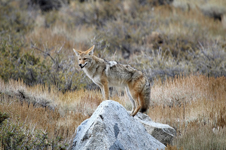 Coyotes in nearby wilderness parks. Photo by Allan Schoenherr