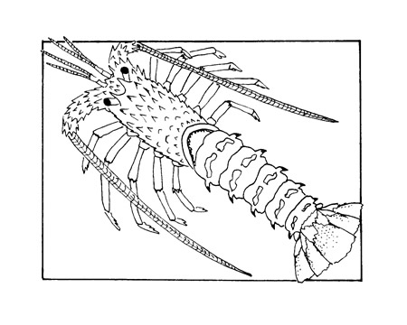 The spiny lobster