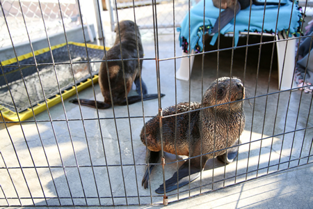 The Pacific Marine Mammal Center in Laguna Canyon is preparing for a full house of sick sea mammals, such as this underweight fur seal. Photo by Jody Tiongco.