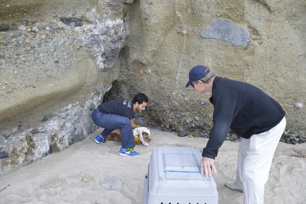 PMMC's Ramiro Barbuzano makes a rescue near Aliso Beach assisted by emeritus board member John Cunningham, who was out for a walk and came upon the sick sea lion pup.