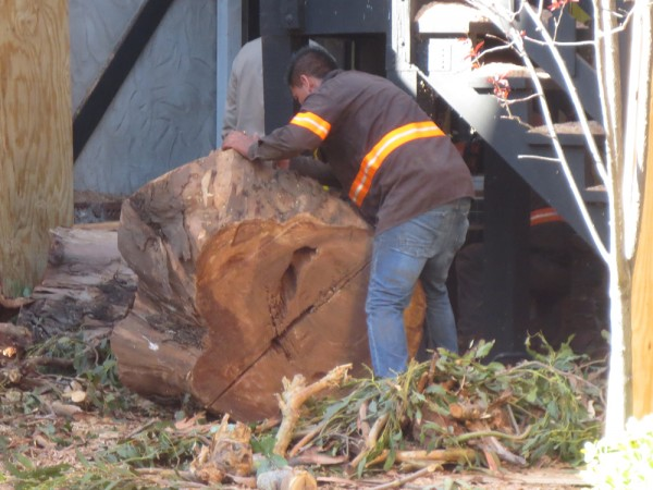 A worker moves a section of the trunk of a eucalyptus tree partly cut down.