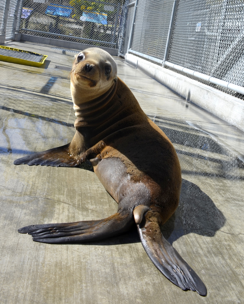 Laguna beach local news sea lion pups make a comeback laguna beach struggles is recuperating at the pacific marine mammal center in laguna beach publicscrutiny Images