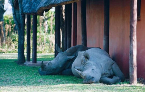 Thabo and Ntombi, orphaned white rhinos, still return to the lodge at the game reserve in South Africa where they were hand-raised.