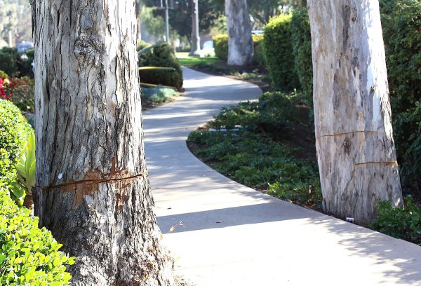 Trees on the sidewalk bordering the Montage resort show signs of deep gouges.